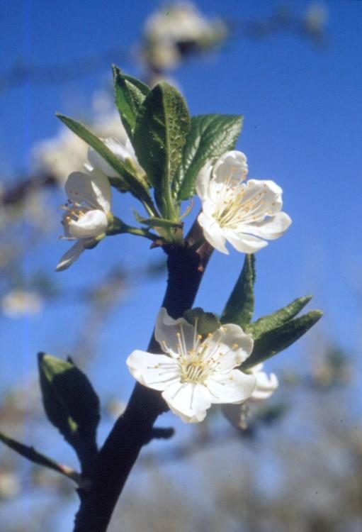Fleur de prunier illustrant la fabrication d'huile d'amandon de pruneau Perles de Gascogne