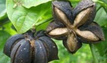 Inca Inchi oil Plukenetia seeds