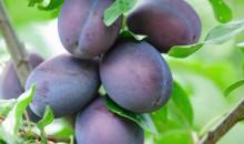 Ente plums on Lot and Garonne Agen plum tree